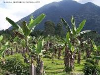 colombia venecia plátanos