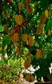 árbol de carambolo