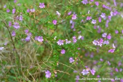 florecitas moradas