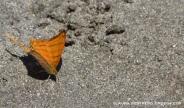 mariposa naranja