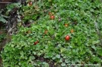 arbusto, frutos rojos