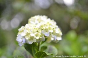 hortensias 1