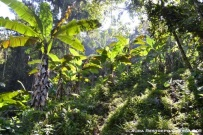 árboles de plátano