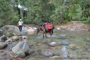 mula cruzando el río