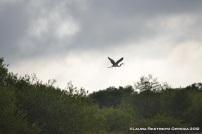 ave acuática en vuelo