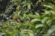 aves rojas