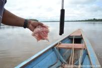 carnada para pescar pirañas