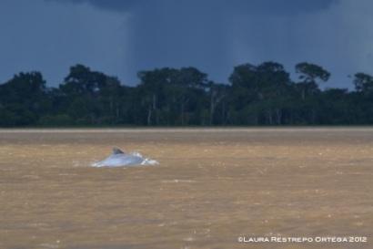 delfín gris de río