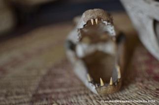 mandíbula de caimán