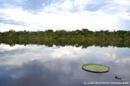 victoria regia en la laguna de Sacambú