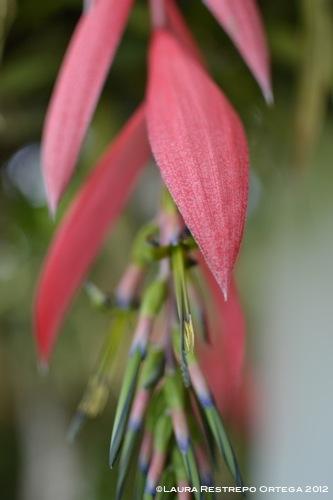 flor de bromelia colgante