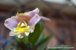orquídea morada y amarilla