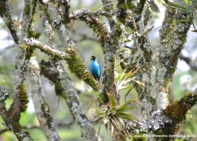 pájaro azul2