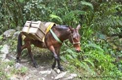 mula cargando piedras