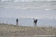 perros en la playa de Ayampe