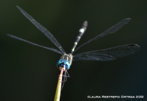 Blue Dragonfly Close-up 1