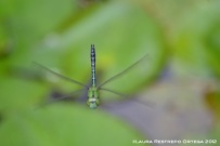 Green Dragonfly 3