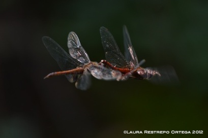 Red Dragonflies Mating 3