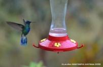 colibrí chillón 1