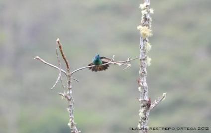 colibrí chillón 10