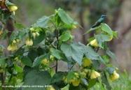 colibrí chillón 12