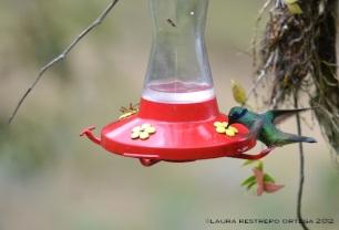 colibrí chillón 13