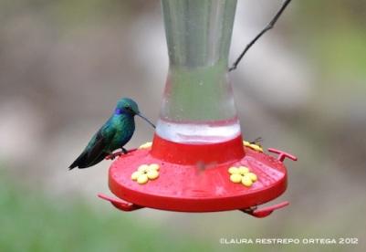 colibrí chillón 17