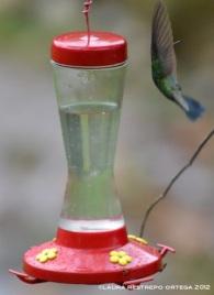 colibrí chillón 19