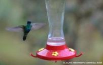 colibrí chillón 2