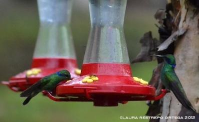 colibrí chillón 20