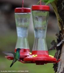 colibrí chillón 21