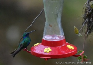 colibrí chillón 3