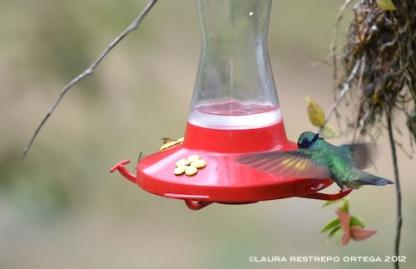 colibrí chillón 7