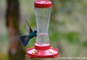 colibrí chillón 8