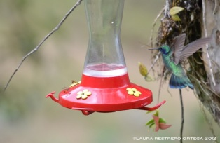 colibrí chillón 9