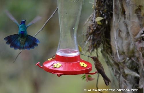 colibrí chillón e inca bronceado