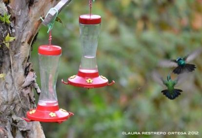 colibrí chillón peleando