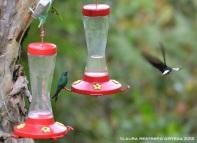 colibrí verdemar 1