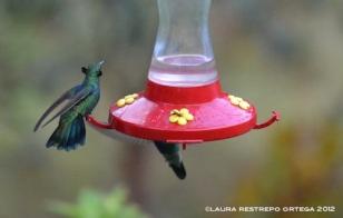 colibrí verdemar 3