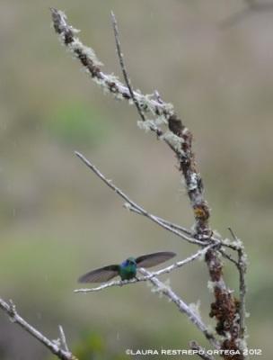 colibrí verdemar 5