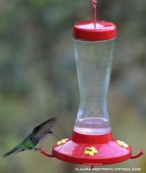 colibrí verdemar 6