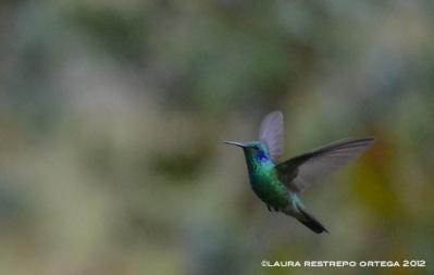 colibrí verdemar 7