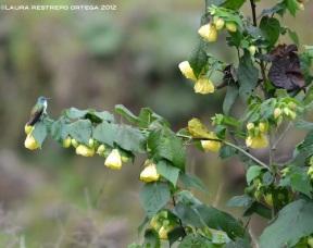 amazilia andina 1