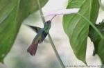 colibrí 24