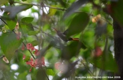 colibrí 25