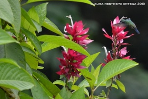 colibrí 26