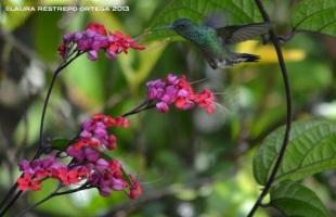 colibrí 32