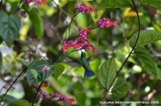 colibrí 33