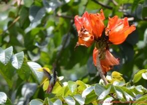 colibrí 55