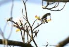 colibrí 61